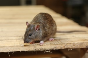 Rodent Control, Pest Control in Poplar, Isle of Dogs, Millwall, E14. Call Now 020 8166 9746